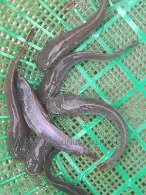 Catfish Fingerlings, Post-fingerlings, Juveniles | Livestock & Poultry for sale in Edo State, Benin City
