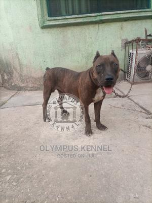 1+ year Male Purebred American Pit Bull Terrier | Dogs & Puppies for sale in Edo State, Benin City