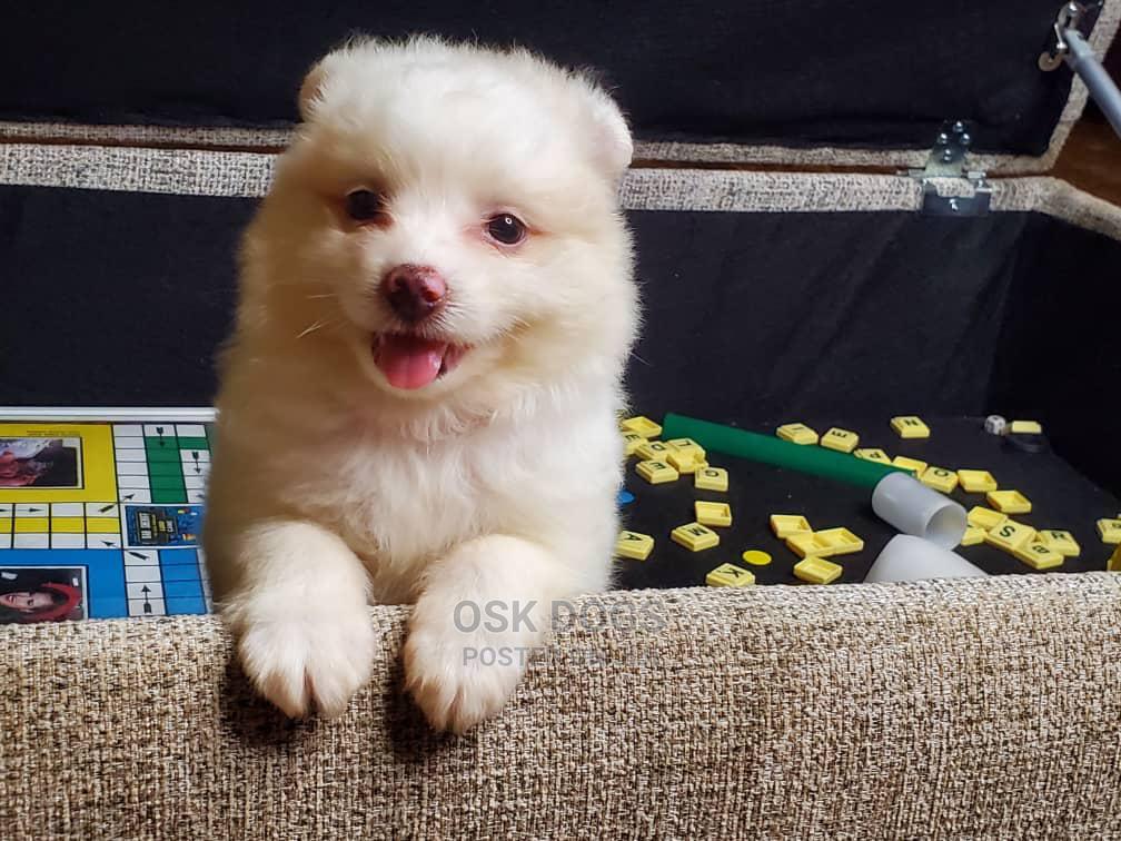 1-3 Month Female Purebred American Eskimo   Dogs & Puppies for sale in Ikorodu, Lagos State, Nigeria