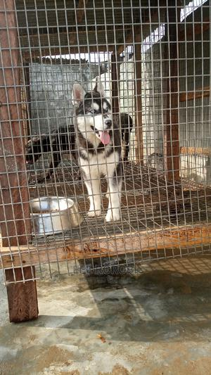 1-3 Month Male Purebred Siberian Husky | Dogs & Puppies for sale in Lagos State, Ajah