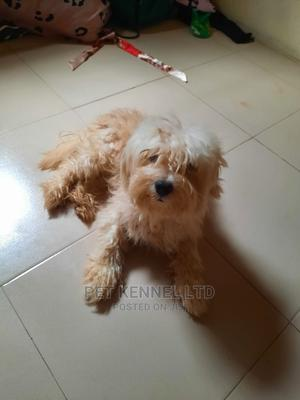 1+ Year Male Purebred Lhasa Apso   Dogs & Puppies for sale in Lagos State, Ipaja