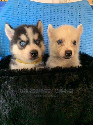 1-3 Month Female Purebred Siberian Husky | Dogs & Puppies for sale in Oyo State, Ibadan