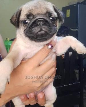 1-3 Month Male Purebred Pug | Dogs & Puppies for sale in Abuja (FCT) State, Maitama
