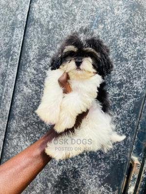 1-3 Month Female Purebred Lhasa Apso   Dogs & Puppies for sale in Lagos State, Ikorodu
