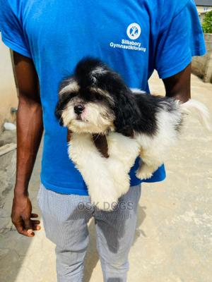 1-3 Month Female Purebred Lhasa Apso | Dogs & Puppies for sale in Lagos State, Ikorodu