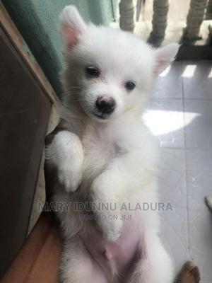 1-3 Month Male Purebred American Eskimo   Dogs & Puppies for sale in Ondo State, Akure