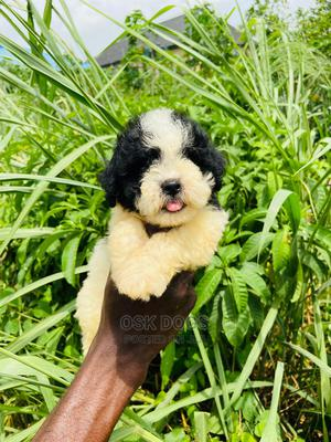 1-3 Month Male Purebred Lhasa Apso | Dogs & Puppies for sale in Lagos State, Ikorodu
