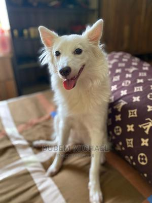 3-6 Month Female Purebred American Eskimo   Dogs & Puppies for sale in Anambra State, Onitsha