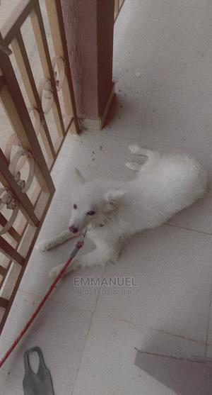 1+ Year Male Purebred American Eskimo   Dogs & Puppies for sale in Ondo State, Akure