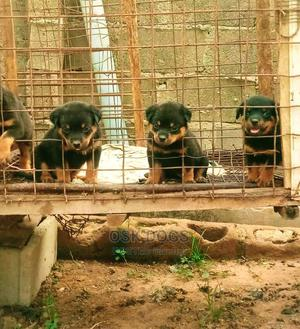 1-3 Month Female Purebred Rottweiler   Dogs & Puppies for sale in Lagos State, Ikorodu