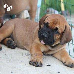 3-6 Month Male Purebred Boerboel | Dogs & Puppies for sale in Lagos State, Surulere