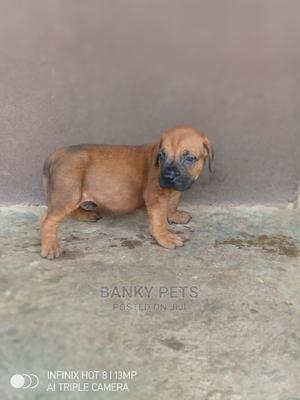 1-3 Month Male Purebred Boerboel | Dogs & Puppies for sale in Kwara State, Ilorin South