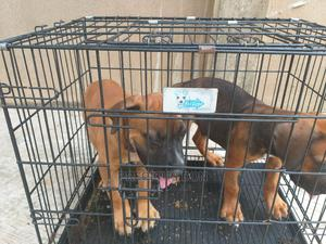 3-6 Month Male Purebred Boerboel | Dogs & Puppies for sale in Lagos State, Ifako-Ijaiye