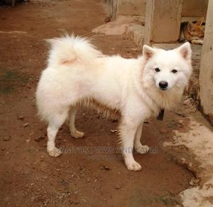 1+ Year Male Purebred American Eskimo | Dogs & Puppies for sale in Ogun State, Abeokuta South