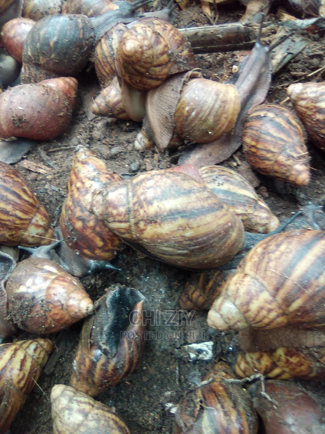 Healthy Snails for Sales