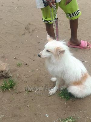 1+ Year Male Mixed Breed American Eskimo   Dogs & Puppies for sale in Imo State, Owerri