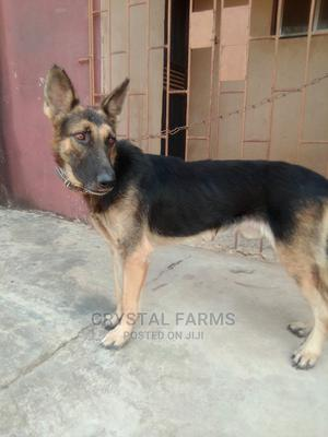1+ Year Male Purebred German Shepherd | Dogs & Puppies for sale in Ogun State, Abeokuta South