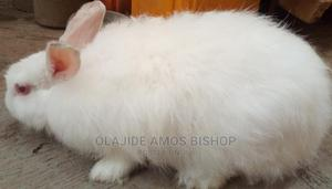 Pure Angora Doe Matured   Livestock & Poultry for sale in Oyo State, Ibadan