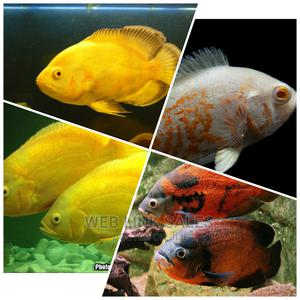 Oscar Aquarium Fishes | Fish for sale in Lagos State, Surulere