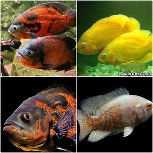 Oscar Aquarium Fish   Fish for sale in Lagos State, Surulere