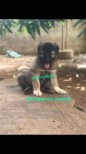 1-3 Month Male Purebred Caucasian Shepherd | Dogs & Puppies for sale in Kwara State, Asa
