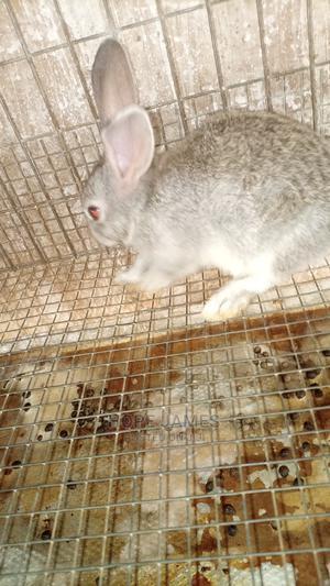 Pure Chinchilla Rabbit Breed   Livestock & Poultry for sale in Oyo State, Ibadan