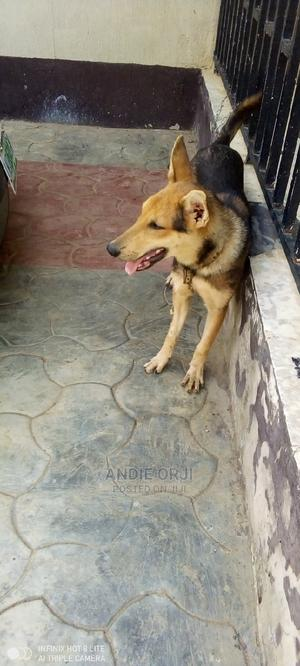 6-12 Month Female Mixed Breed German Shepherd   Dogs & Puppies for sale in Lagos State, Ipaja