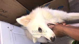 1+ Year Male Purebred American Eskimo   Dogs & Puppies for sale in Lagos State, Ikorodu