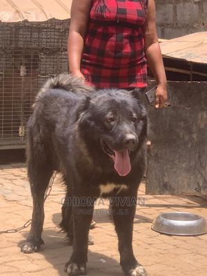 1+ Year Male Purebred Caucasian Shepherd | Dogs & Puppies for sale in Abuja (FCT) State, Jahi