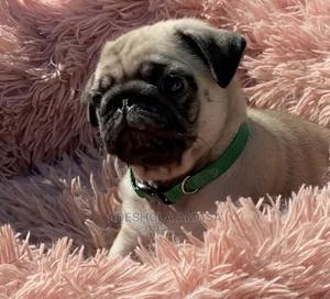 1-3 Month Male Purebred Pug | Dogs & Puppies for sale in Lagos State, Maryland