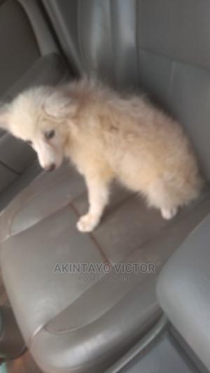 1-3 Month Female Purebred American Eskimo   Dogs & Puppies for sale in Ondo State, Akure