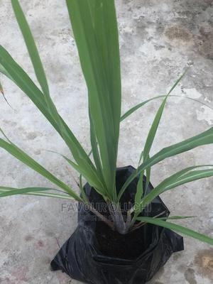 Lemon Grass Seedlings, Fresh Leaves and Dried Leaves | Feeds, Supplements & Seeds for sale in Lagos State, Ikotun/Igando