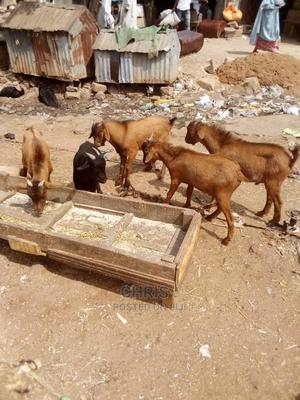 Live Goat Foe Sale   Livestock & Poultry for sale in Anambra State, Onitsha