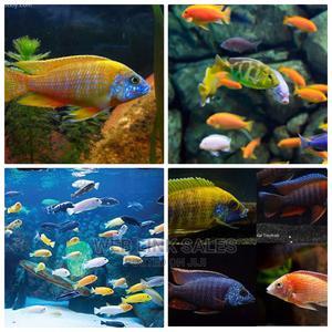 Aquarium African Cichlids | Fish for sale in Lagos State, Surulere