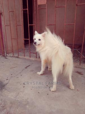 1+ Year Male Purebred American Eskimo   Dogs & Puppies for sale in Ogun State, Abeokuta South