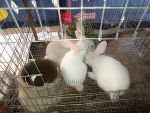 Hyla Cross | Livestock & Poultry for sale in Oyo State, Ibadan