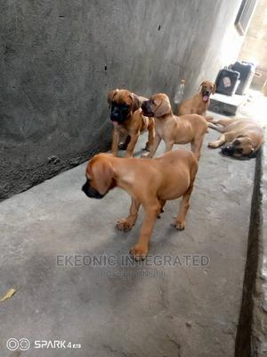 1-3 Month Male Purebred Boerboel | Dogs & Puppies for sale in Rivers State, Port-Harcourt