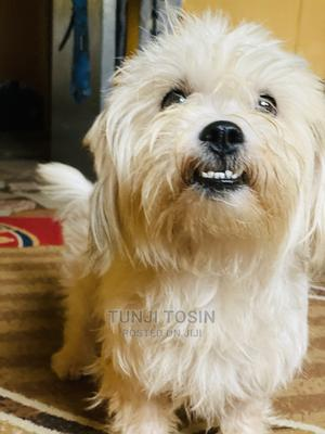 1+ Year Male Purebred Lhasa Apso | Dogs & Puppies for sale in Lagos State, Ojodu