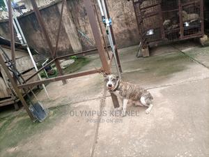 1+ Year Female Purebred American Pit Bull Terrier   Dogs & Puppies for sale in Edo State, Benin City