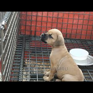 1-3 Month Female Purebred Boerboel | Dogs & Puppies for sale in Lagos State, Ikeja