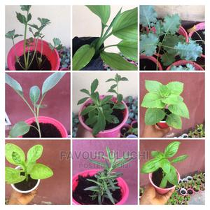 Organic Herb Seedling; Rosemary/Oregano/Basil/Stevia/Parsley   Feeds, Supplements & Seeds for sale in Lagos State, Ikotun/Igando