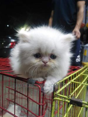 1-3 Month Female Purebred Persian   Cats & Kittens for sale in Lagos State, Agbara-Igbesan