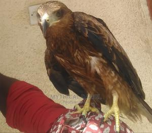 African Fishing Golden Eagle | Birds for sale in Lagos State, Ojodu
