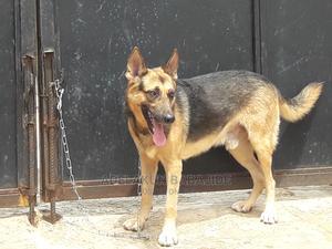 1+ Year Male Purebred German Shepherd   Dogs & Puppies for sale in Lagos State, Ifako-Ijaiye