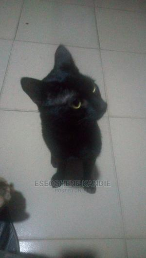 1+ Year Male Purebred Cat | Cats & Kittens for sale in Lagos State, Ikeja