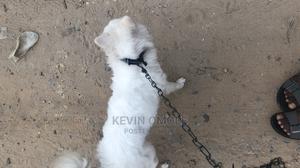 1+ Year Male Purebred American Eskimo   Dogs & Puppies for sale in Delta State, Uvwie