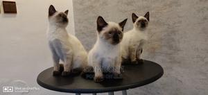 1-3 Month Female Purebred Siamese | Cats & Kittens for sale in Lagos State, Ikeja
