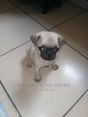 1-3 Month Male Purebred Pug | Dogs & Puppies for sale in Rivers State, Port-Harcourt