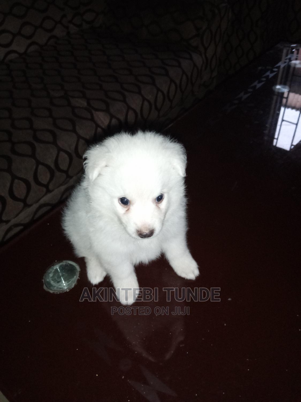 1-3 Month Female Purebred American Eskimo   Dogs & Puppies for sale in Ojo, Lagos State, Nigeria