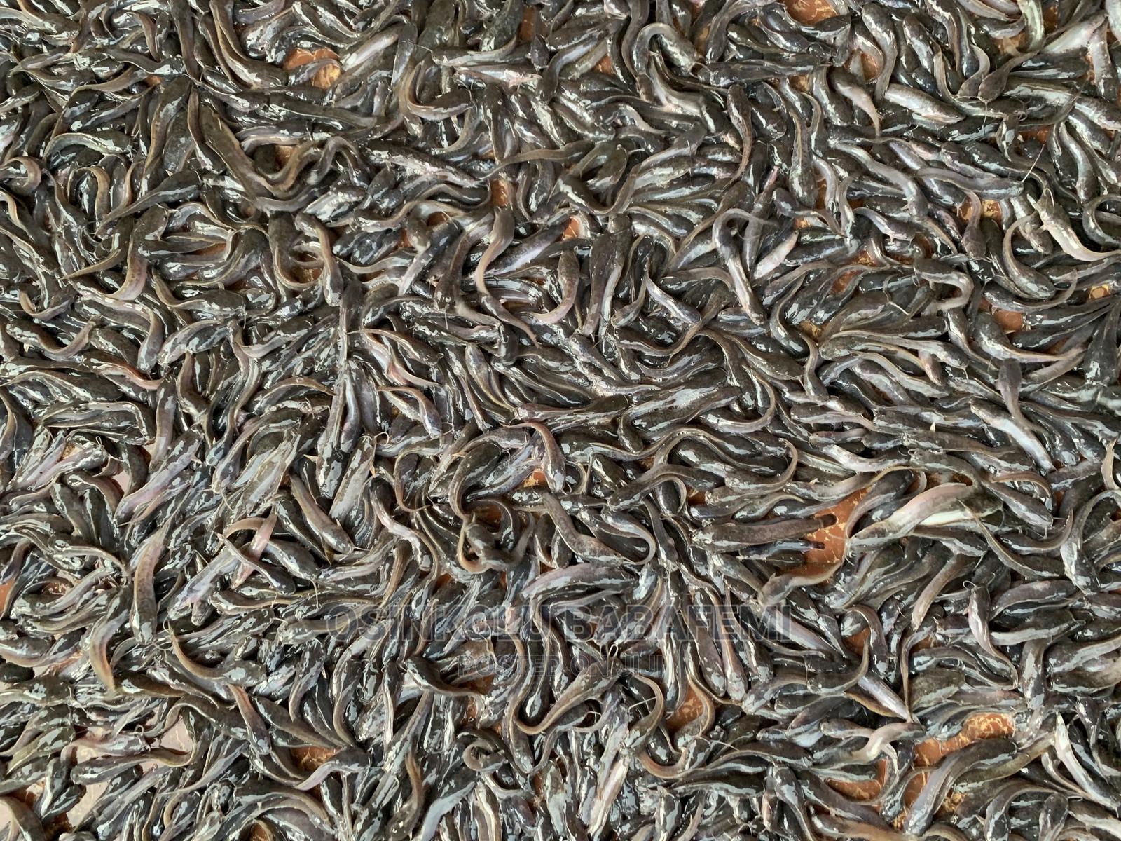 Fingerlings / Juveniles.   Fish for sale in Ado Ekiti, Ekiti State, Nigeria